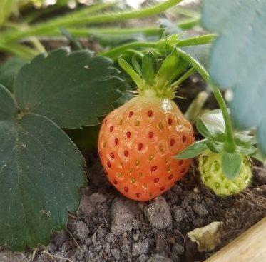 Een aardbei uit eigen tuin.