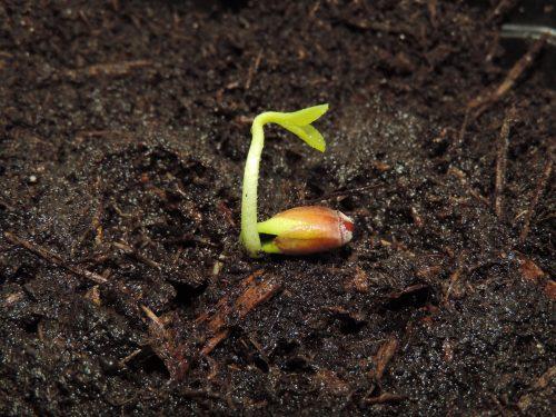 De kiem is verplant en de grond is goed vochtig gemaakt.